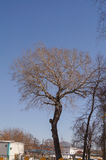 Lonely poplar tree without leaves Stock Photos