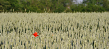 Lonely poppy Stock Image