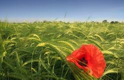 Lonely poppy Stock Image