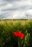 Lonely poppy. Under threatening stormy sky stock image
