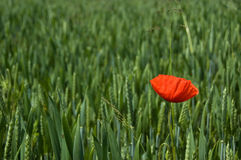 Lonely poppy Royalty Free Stock Images