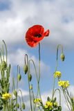 Lonely poppy on a background of yellow flowers and cloudy sky Stock Photos