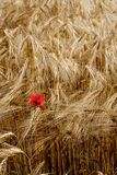 Lonely poppy in a field of rye Royalty Free Stock Photos