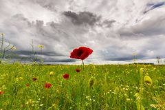 Lonely poppy flower isolated on beautiful sky background Stock Photos