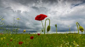 Lonely poppy flower isolated on beautiful sky background Stock Image