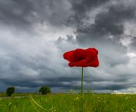 Lonely poppy flower isolated on beautiful sky background Stock Photo