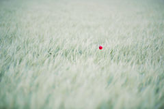 Lonely poppy flower Royalty Free Stock Images