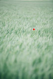 Lonely poppy flower Royalty Free Stock Image