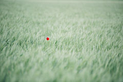 Lonely poppy flower Stock Images