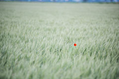 Lonely poppy flower Stock Photography