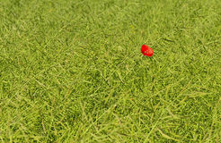Lonely poppy among green field Royalty Free Stock Photo