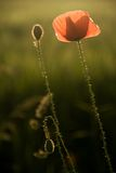 Lonely poppy. Picture taken at sunset in Slovakia royalty free stock image