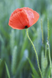 Lonely poppy plant Royalty Free Stock Image
