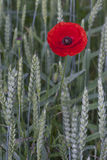 Lonely poppy Stock Images