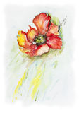 Lonely poppy  in  river. Lonely flower of poppy sinks floats in the cold river - handmade acrylic painting illustration on a white paper art background Royalty Free Stock Image