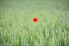 Lonely Poppy Royalty Free Stock Photos