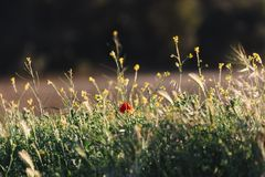 Lonely poppy that stands out in the wild flowers on a golden sunset in the background. Typical spring and summer background royalty free stock photos