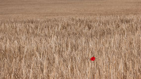 Lonely Poppy Royalty Free Stock Photo