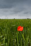 Lonely poppy in wheat field Royalty Free Stock Photography