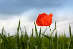 Lonely poppy in wheat field Royalty Free Stock Photos