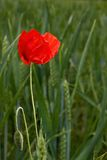 Lonely poppy in wheat field Stock Photo