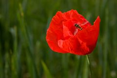 Lonely poppy in wheat field Royalty Free Stock Image