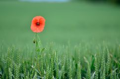Lonely Poppy Royalty Free Stock Photography