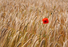 Lonely Poppy in Wheat Field. A lone poppy in a field of wheat Royalty Free Stock Images