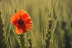 Lonely poppy in a wheatfield Stock Images