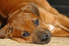 Lonely puppy. A beautiful little Rhodesian Ridgeback hound puppy dog head portrait with tired, cute and sad lonely expression in the face resting and watching Royalty Free Stock Photography