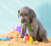 Lonely puppy. Blue Great Dane purebred puppy all alone with a ball on sand stock photo