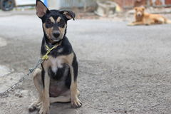 Lonely puppy dog in a chain sitting and looking at camera. Selective focus and shallow depth of field. Lonely puppy dog in a chain sitting and looking at camera stock photography
