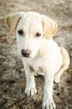Lonely puppy dog wait Stock Photography