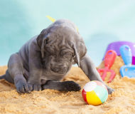 Lonely puppy. Great Dane puppy with a ball and no one to play with stock photos
