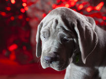 Lonely puppy. Great Dane purebred blue puppy with holiday looking background stock photography