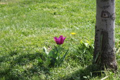 Lonely purlpe tulip. A view with a lonely purple tulip near the stem of a tree Royalty Free Stock Photography