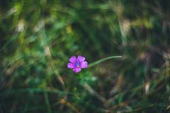Lonely purple flower on the meadow grass stock photos