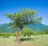 Lonely quince tree Stock Images
