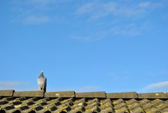 Lonely racing pigeon on the roof royalty free stock photos