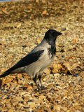 Lonely Raven Royalty Free Stock Photos