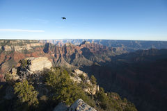 Lonely raven over Grand Canyon Stock Photography