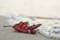 Lonely red autumn leaf on the beach. Lonely red scorched autumn leaf on the sand of the beach, on the sea shore, getting wet, washed by the ocean waves. Solitude royalty free stock image