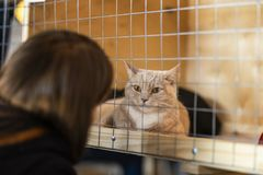 Lonely red cat with a sad look, lying on cage in shelter, waiting for owner with home. Concept of humanity, kindness and royalty free stock photos