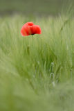 Lonely red flower Royalty Free Stock Photos