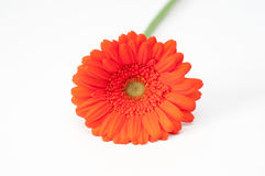 Lonely red gerbera flower isolated on white. Space Royalty Free Stock Images