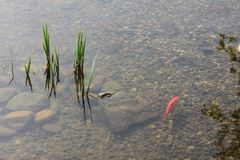 A lonely red or gold fish floats in a pond royalty free stock photo