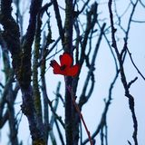 lonely red leaf royalty free stock photos