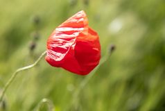Lonely red poppy flower in a field of rye spike. Spring poppy shot close in a green field royalty free stock images