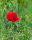 Lonely red poppy Royalty Free Stock Images