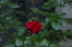 Lonely red rose. Close up of one red rose in the garden royalty free stock image